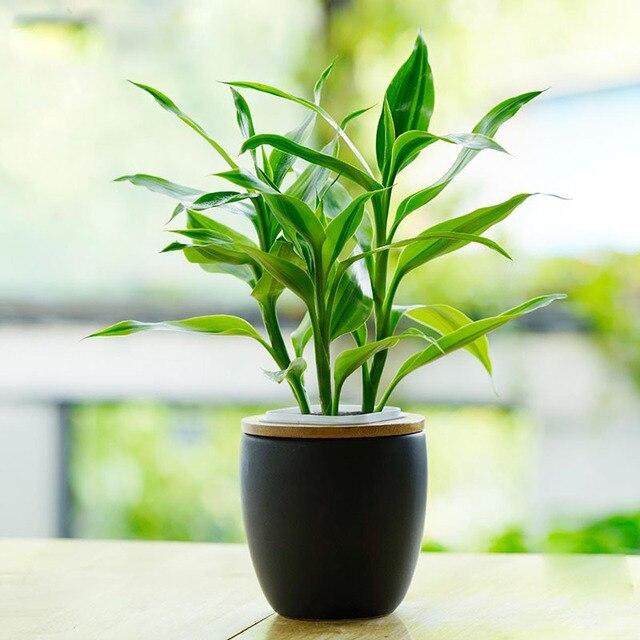 60 PCS Phnom Penh Dracaena Sementes Em Vasos Varanda Plantas De ...