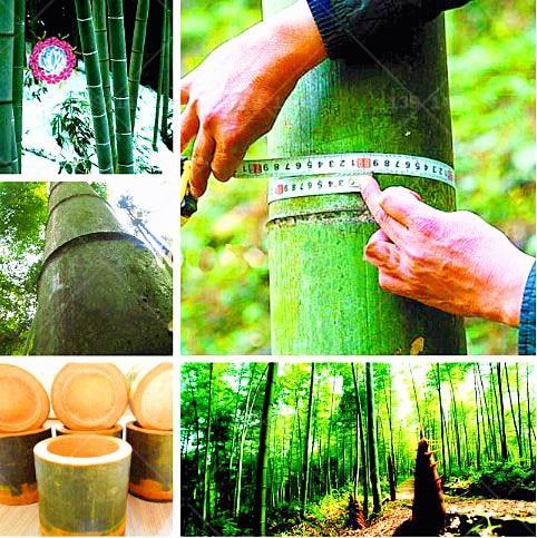 40 unids/bolsa bonsái chino Moso gigante bambú. Heterheterocicla Pubescens-Moso gigante de bambú para plantas de jardín de Casa DIY