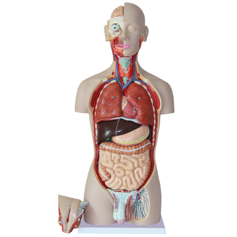 HeyModel 85cm human body torso model with 27 parts Display rovertime rovertime rtm 85