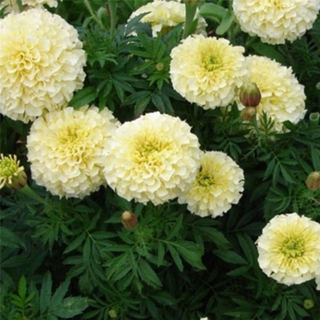 Online shop imixlot new hot 25pcs rare white marigold seeds imixlot new hot 25pcs rare white marigold seeds perennial flower potted herb home garden bonsai plants seed decoration mightylinksfo