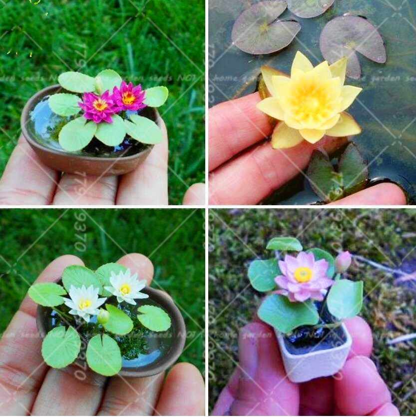 Detail Feedback Questions About New Varieties 5pcs Mini Bonsai Lotus