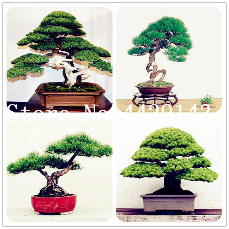 50 pcs japanese black pine natural indoor bonsai tree wooden perennial plants for home garden decor best packaging