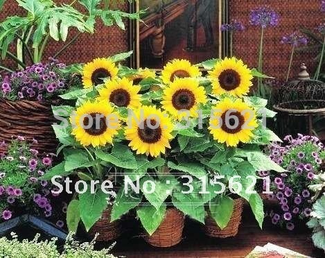 Short plants  Sunflower seeds Helianthus Sunny Smile  Potted flower