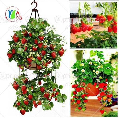 300 Восхождение Красной Клубники Семена очень большой и очень вкусный, Овощи и фрукты семена фамильные семена лианы бесплатная