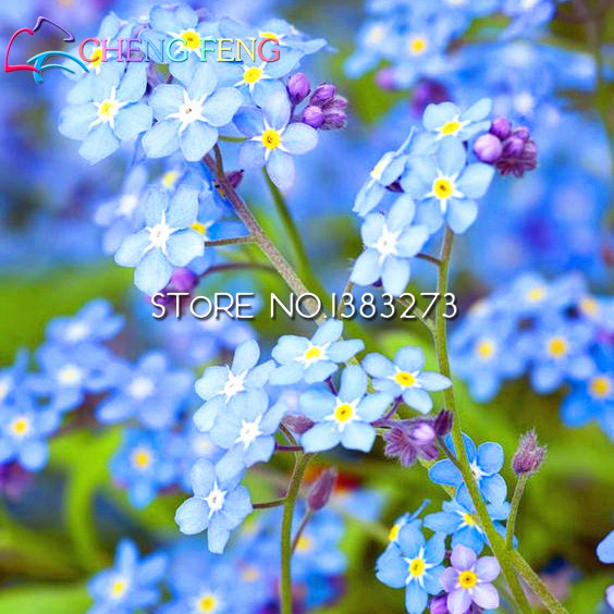 200pcs/bag rare flower forget me not seed MYOSOTIS ALPESTRIS mixed color flower pot seeds for home garden decoration hot sale