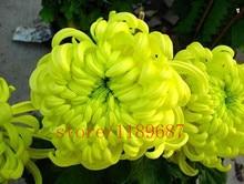 100pcs African marigold (Osteospermum Ecklonis) seeds