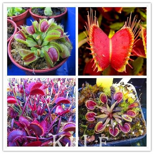 HOT Sale 1000PCS Potted Insectivorous Plant Bonsai Dionaea Muscipula Giant Clip Venus Flytrap Plants,#3L5YBB