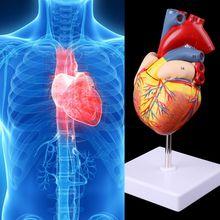 2019ใหม่ถอดกายวิภาคหัวใจมนุษย์รุ่นAnatomyการสอนการแพทย์เครื่องมือ