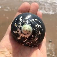 Редкий Натуральный Рог Коллекция Black Edition тюрбан природные Seashell аквариум украшения морская улитка Свадебные украшения дома