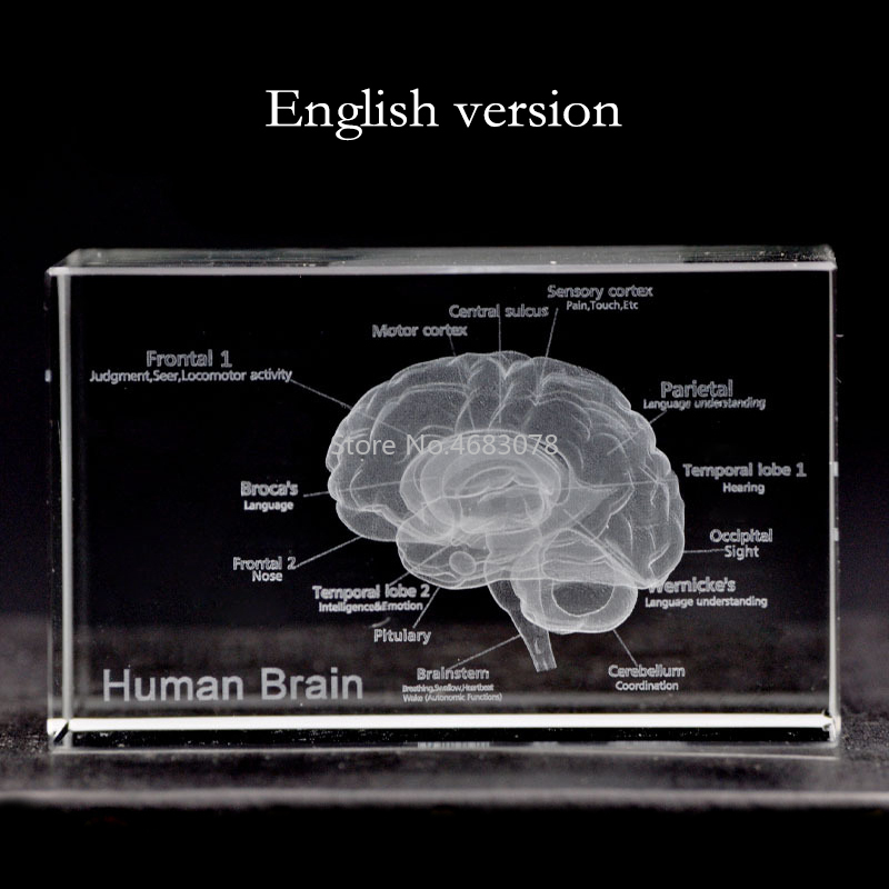 3D Stereoscopic Crystal Inner Carving Anatomical Brain Model For Medical Teaching Supplies Or Ideal Gift 50*50*80mm