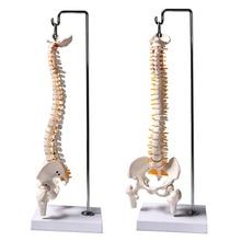 45 см 1/2 в натуральную величину Анатомия человека модель позвоночника тазовые бедра с подставкой образовательная медицинская научная Учебная модель