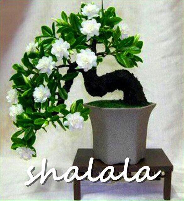 100 pz/lotto Bianco Gelsomini piante Dolce Anima fiore di Gelsomino piante Bonsai Piante Semente Flor La Casa e Giardino di Fiori