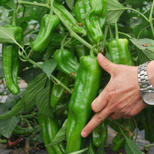 Free-Shipping-100-Giant-pepper-seeds-Mar
