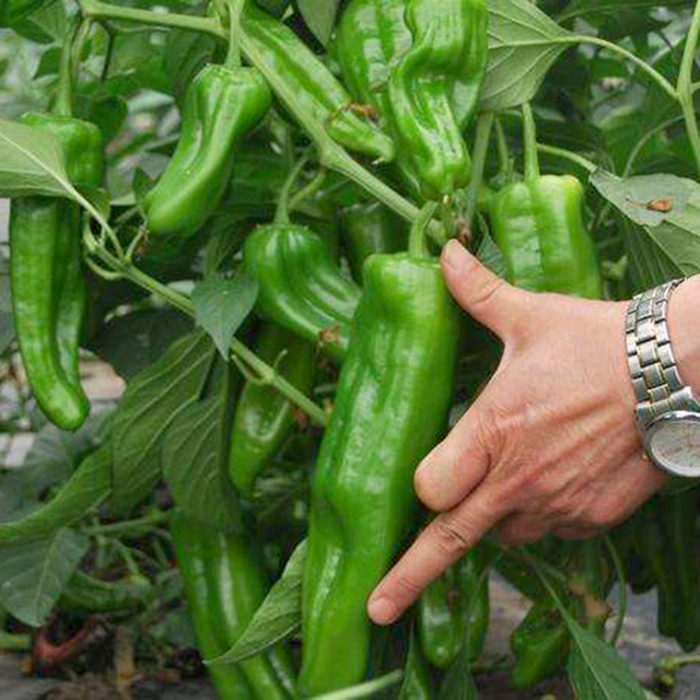 Growing Peppers In Your Vegetable Garden: Free Shipping,100 Giant Pepper Seeds Marconi Peppers DIY