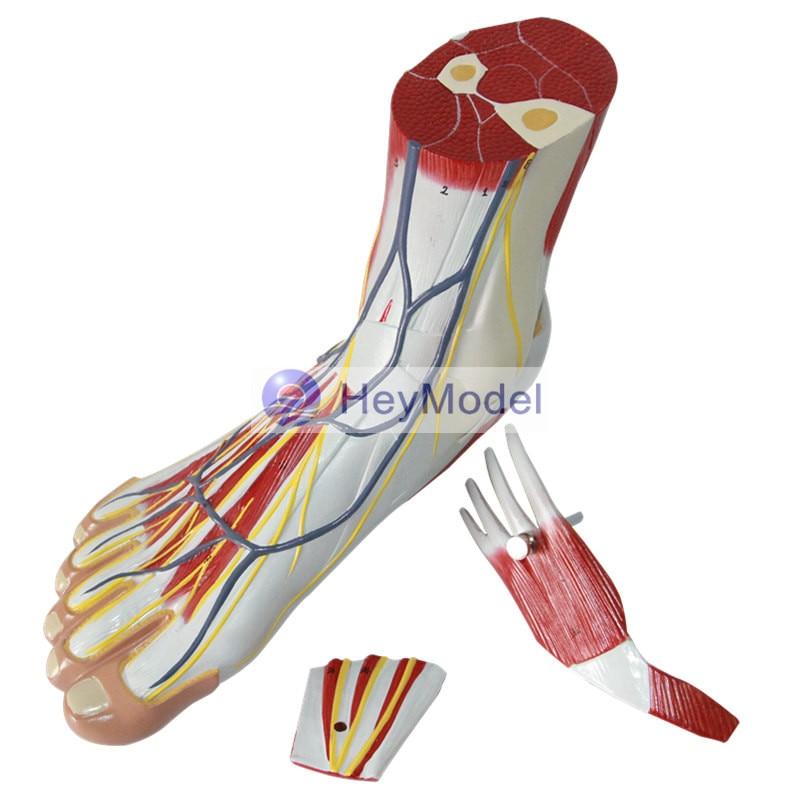 HeyModel Foot muscles Foot ModelHeyModel Foot muscles Foot Model