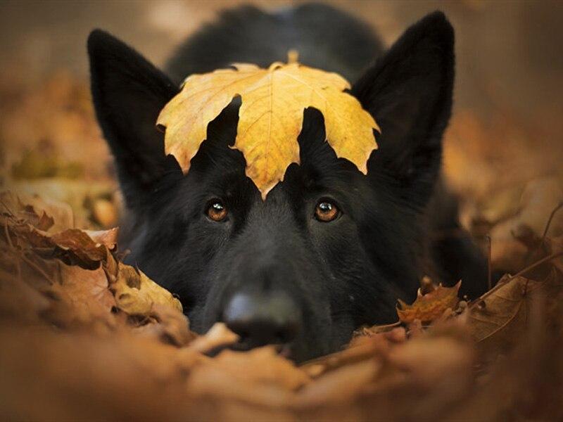 thumb2-black-german-shepherd-autumn-yellow-leaf-big-black-dog-autumn-leaves_副本