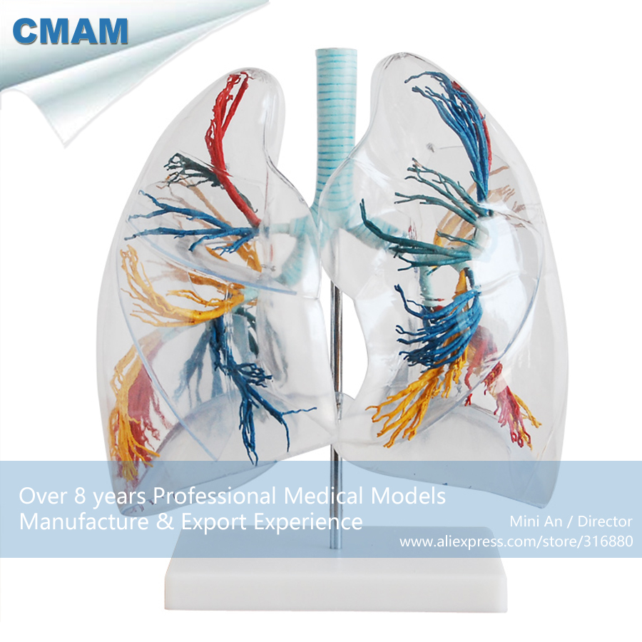 CMAM-LUNG02 Transparent 2x Life Size Human Lung Segments Model , Medical Science Educational Teaching Anatomical Models plastic standing human skeleton life size for horror hunted house halloween decoration