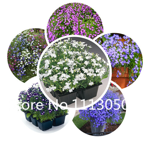 Sale! Free Shipping 100pcs 10 kinds Bonsai lobelia Seeds 100% Genuine Organic Blooming Flower Seeds Garden Plant