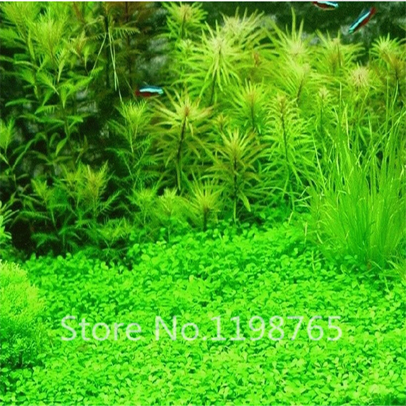 300pcs aquarium grass seeds mix water aquatic plant for Easy aquatic plants