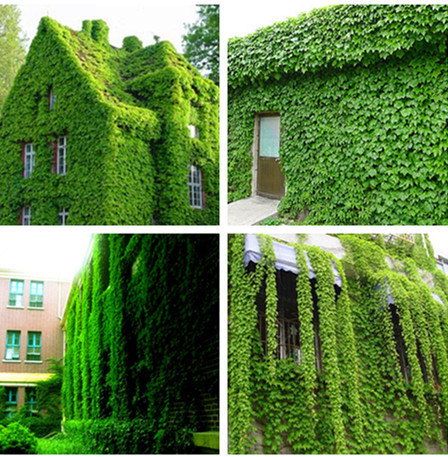 Ivy Seeds, Climbing Plants, 100pcs/pack