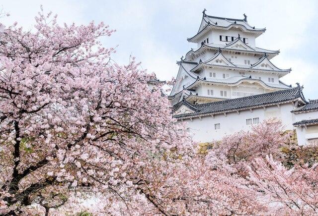 Image result for himeji castle cherry blossom