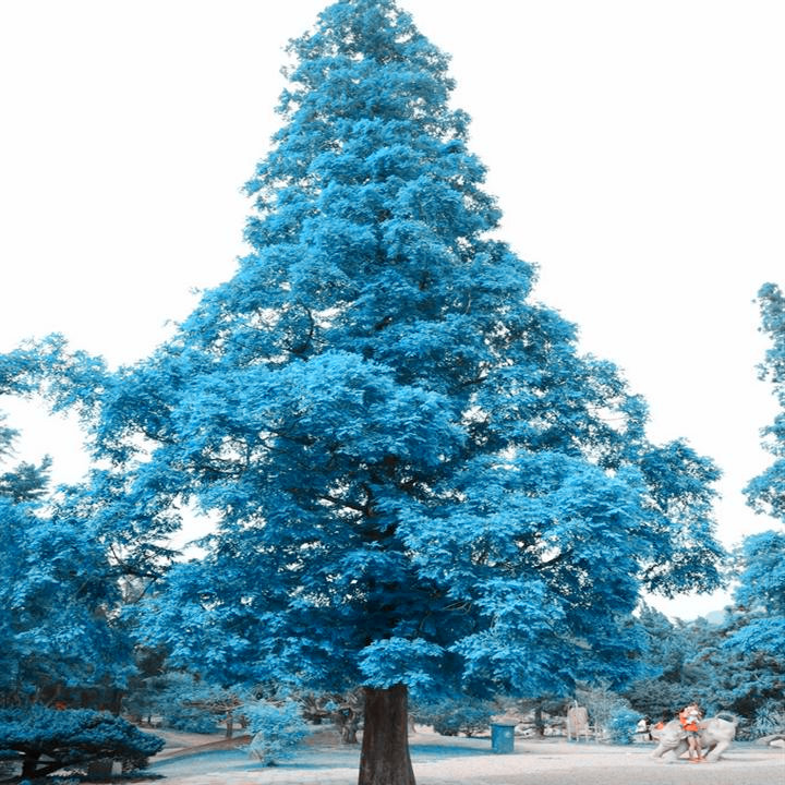 Rare Tree Seeds 10PC Japans Large Sky Blue Pine Seeds Magic Plant In Bonsai From Home
