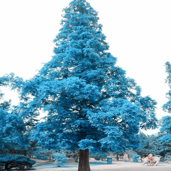 Rare Tree Seeds 10pc Japan S Large Sky Blue Pine Seeds