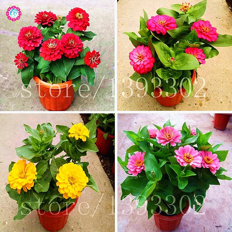 50PCS Bonsai Zinnia Seeds Multicolor Chrysanthemum SeedsTrue Beautiful Fireball Flower Seeds Potted Plants For Home Garden