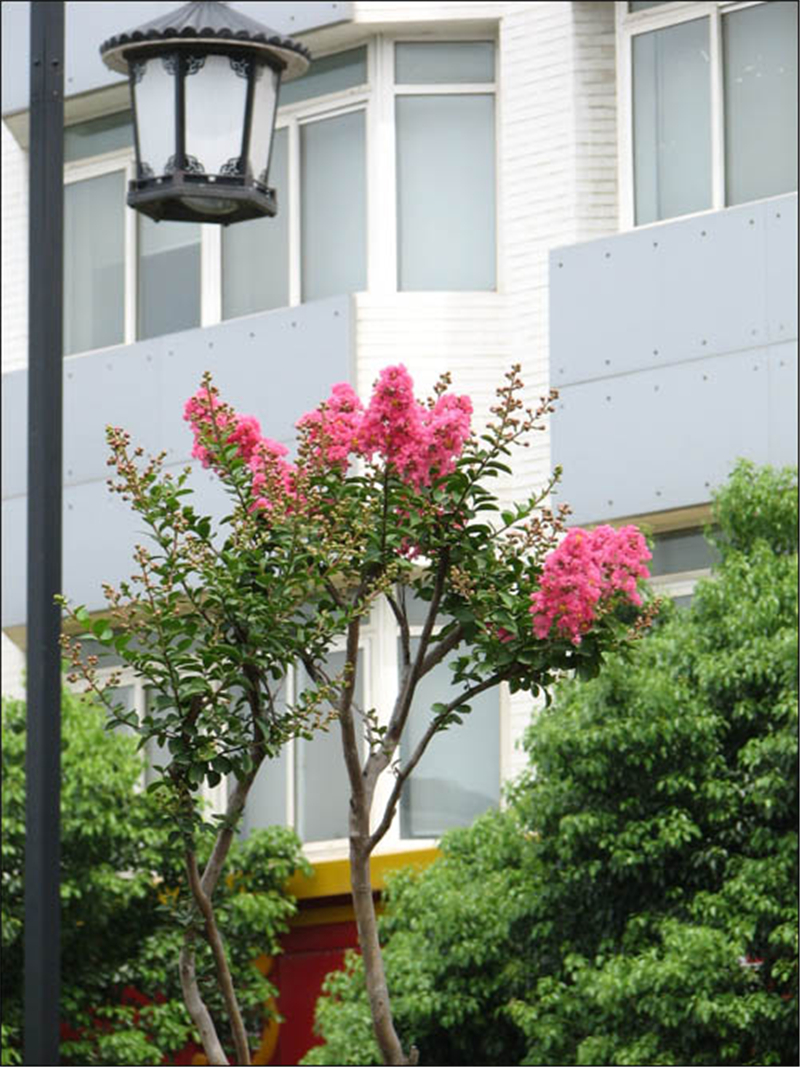 Real Indoor Trees Part - 47: Real Chinese Lagerstroemia Indica Tree Seeds Indoor Bonsai Crape Myrtle  Outdoor Blooming Plants Countryard Ziwei Sementes-in Bonsai From Home U0026  Garden On ...