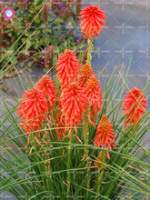 50Pcs Hot Poker (Kniphofia Uvaria) Seed Beautiful Bonsai Torch Lily Flower Seeds Perennial Potted Plants For Garden Decoration