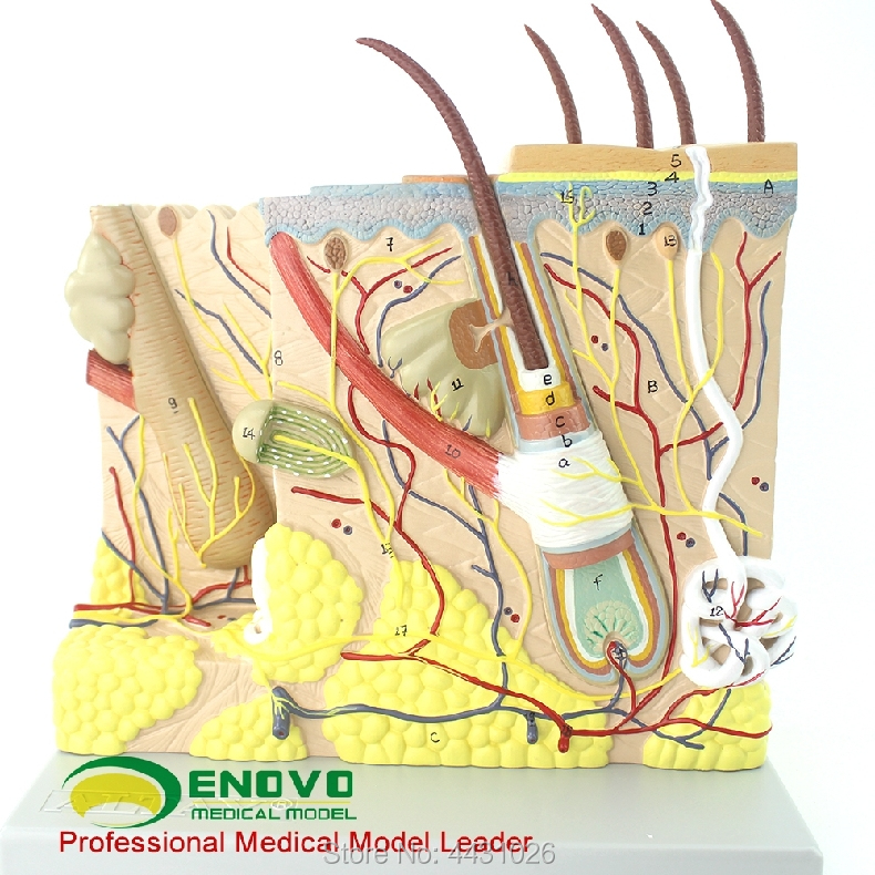 ENOVO Magnify the human skin anatomical structure model minimally invasive skin cosmetic plastic face model skin block model 26 points displayed human skin anatomical model skin model