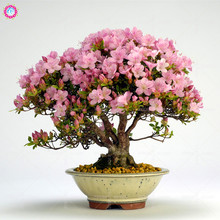 100pcs Sims Azalea seeds Indoor bonsai tree seeds room flower perennial plants for home room decor best packaging Rhododendron