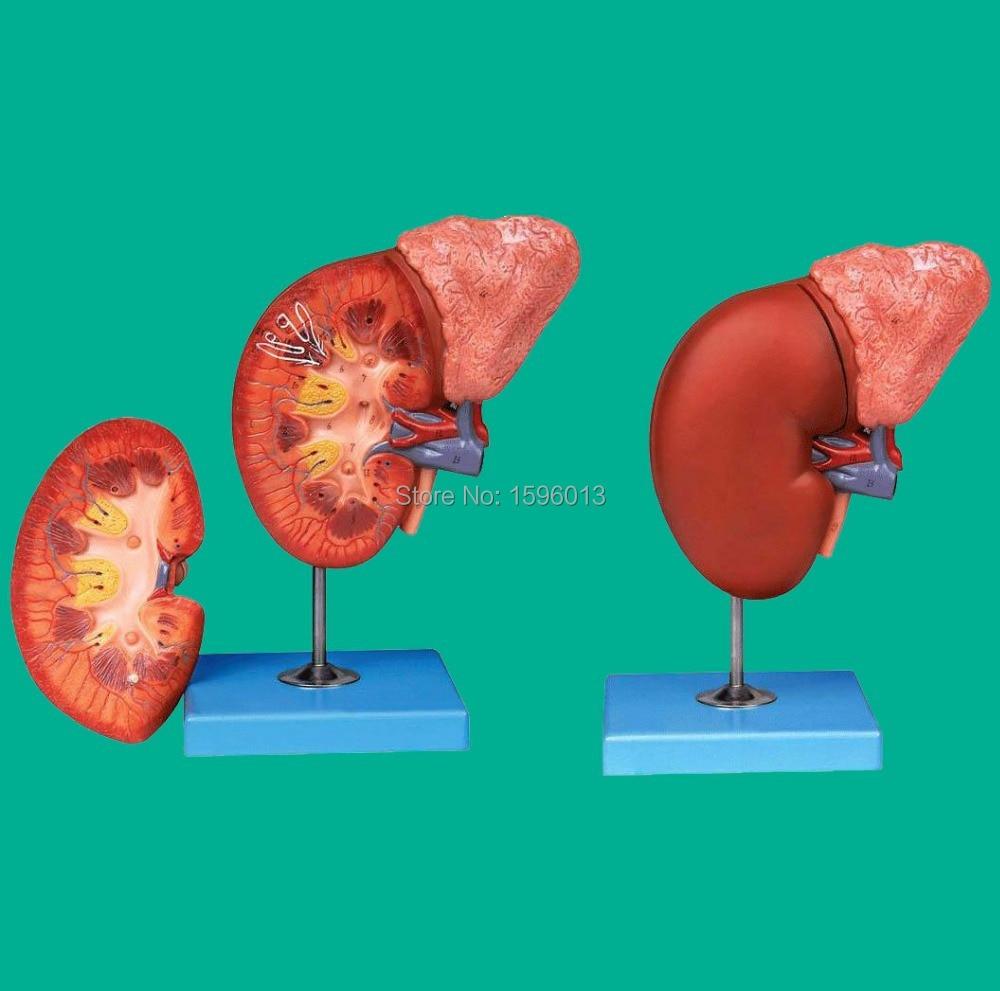 ᗕRiñón y glándula suprarrenal, modelo anatomía renal, suprarrenal ...