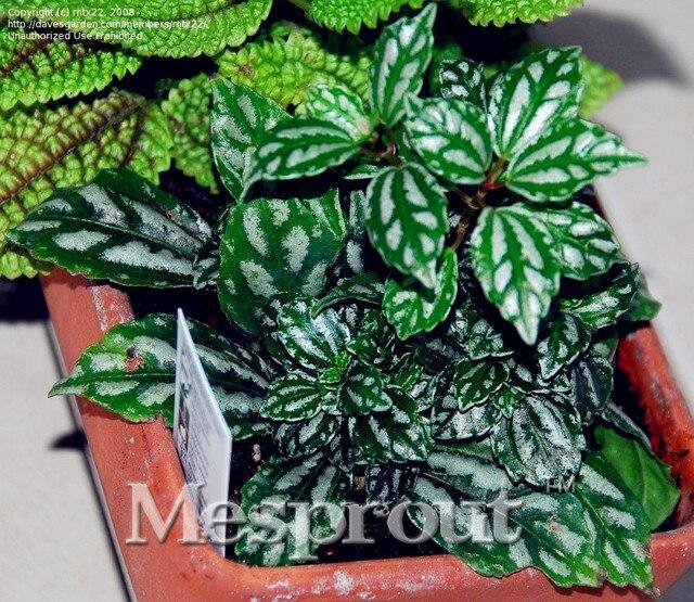 100 Genuine Rare 50pcs Pilea Notata Seeds Bonsai Plants Indoor Anti Radiation