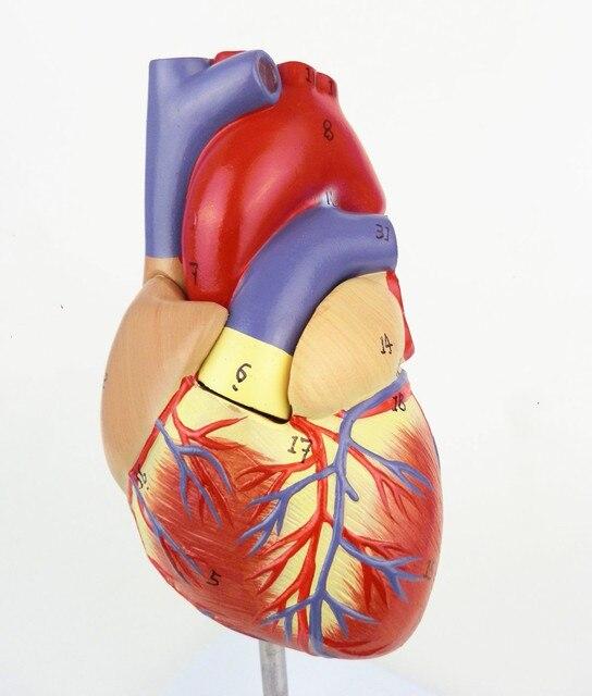 1:1 Corazón Anatómico Humano Anatomía Modelo Médico de Órganos de ...