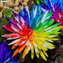 100pcs/ bag Rare Rainbow Daisy Seeds Indoor Blooming Chrysanthemum Bonsai Potted Flower Ornamental Plant for Garden Decor
