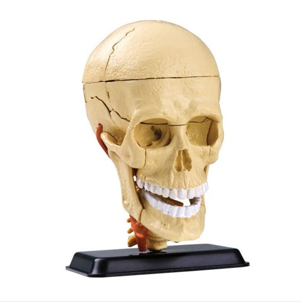 Online-Shop Schädel modell mit gehirn menschlichen schädel modell ...