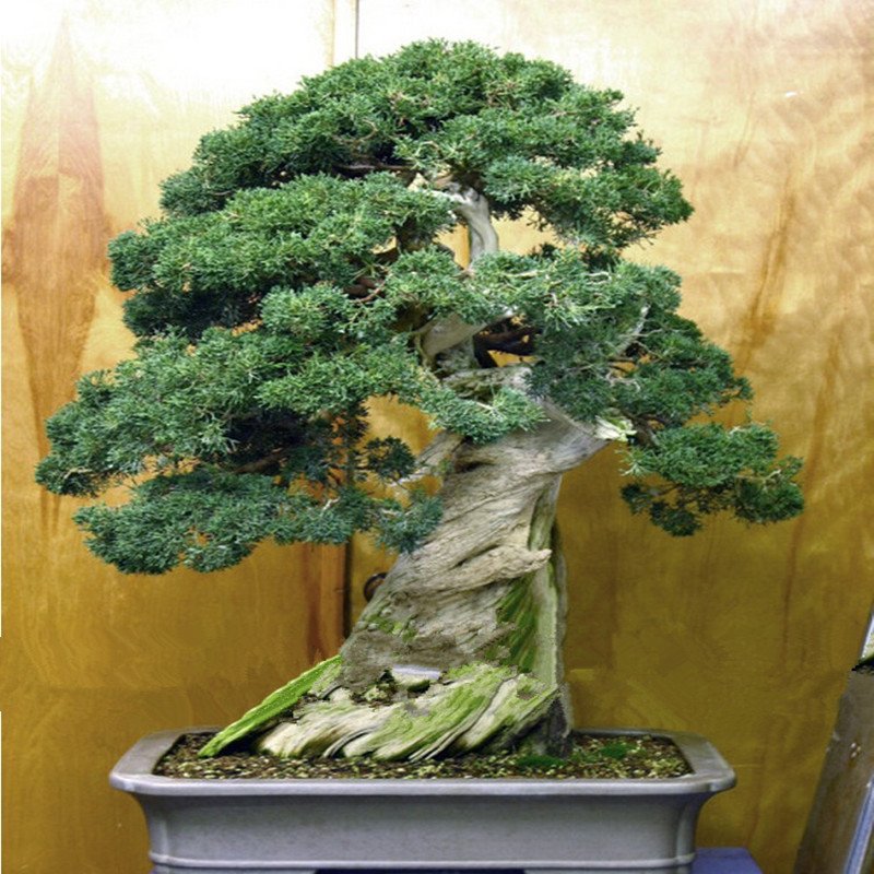 office bonsai. juniper bonsai tree seeds potted flowers office purify the air absorb harmful gases 100pcs i