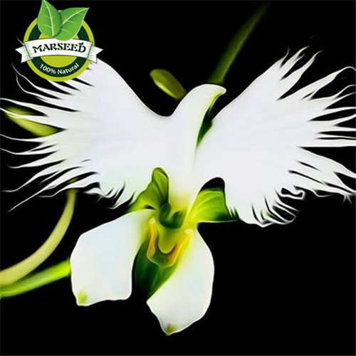 100 Japanese Radiata Seeds White Egret Orchid Seeds World