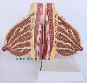 Image 1 - Female breast anatomy model of pregnancy and lactation, breast anatomy model of pregnancy and lactation teacher training model