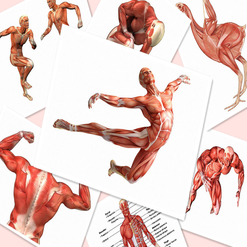 Tienda Online J1000-Anatomía de la musculatura Chart pop 14x21 24x36 ...
