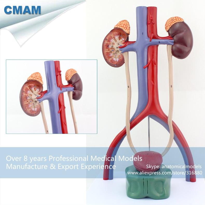 12425 Cmam Urology05 Human Anatomy Stereo Urinary System Organ