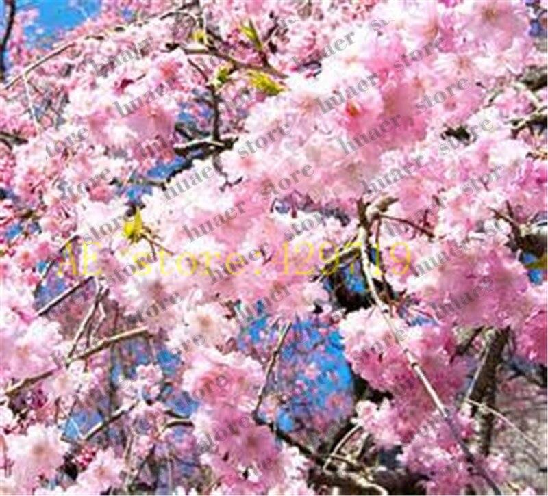 Pink Fountain Weeping Cherry Tree Seeds Diy Home Garden Dwarf Tree Seeds 20pcs