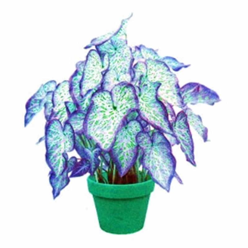 100 قطعة Caladium داخلي النباتات Caladium ذو لونين زهرة النبات بونساي Colocasia للمنزل حديقة الزينة الرعاية سهلة