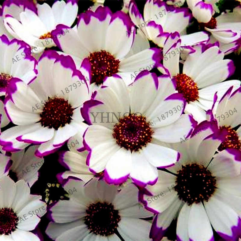 100 adet/torba Çiçekçi Cineraria, 24 çeşit renk, Çok Yıllık nadir çiçek flores ev ve bahçe kullanımı için, bonsai bitki çiçek