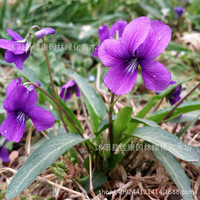 Flower plant a authentic Viola Viola wild grass plant light valve real locations 200g / Pack