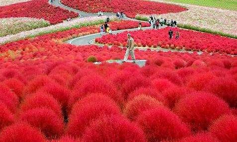 Free shipping Kochia,summercypress garden plants ,rare garden seeds -200 pcs/bag