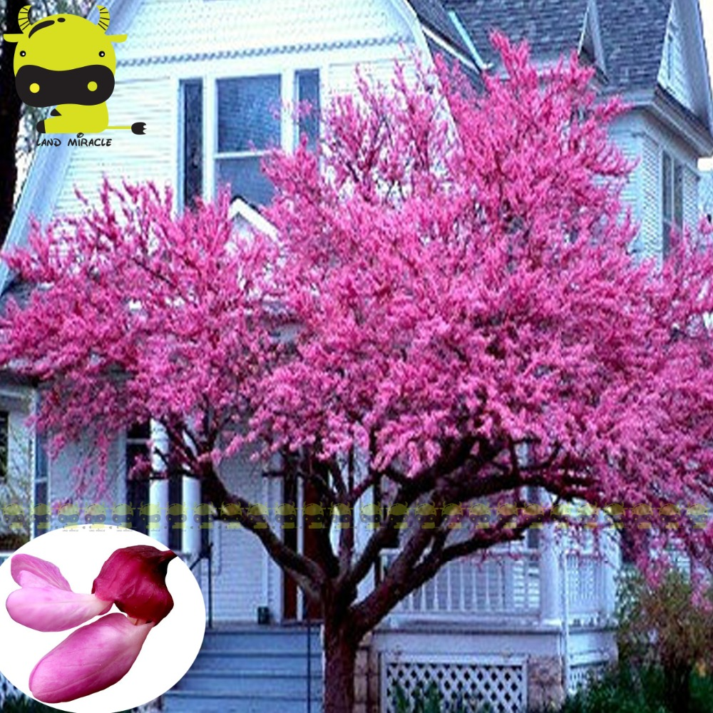 Online Shop Eastern Giant Pink Redbud Flower Seeds 10 Seedspack