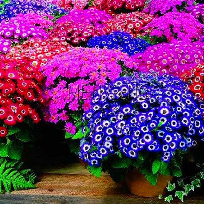 Loss Promotion!Cineraria Seeds Beautiful Flower Seed Potted Flower Plant DIY Home Garden Bonsai Decoration Easy To Grow 100 Pcs/