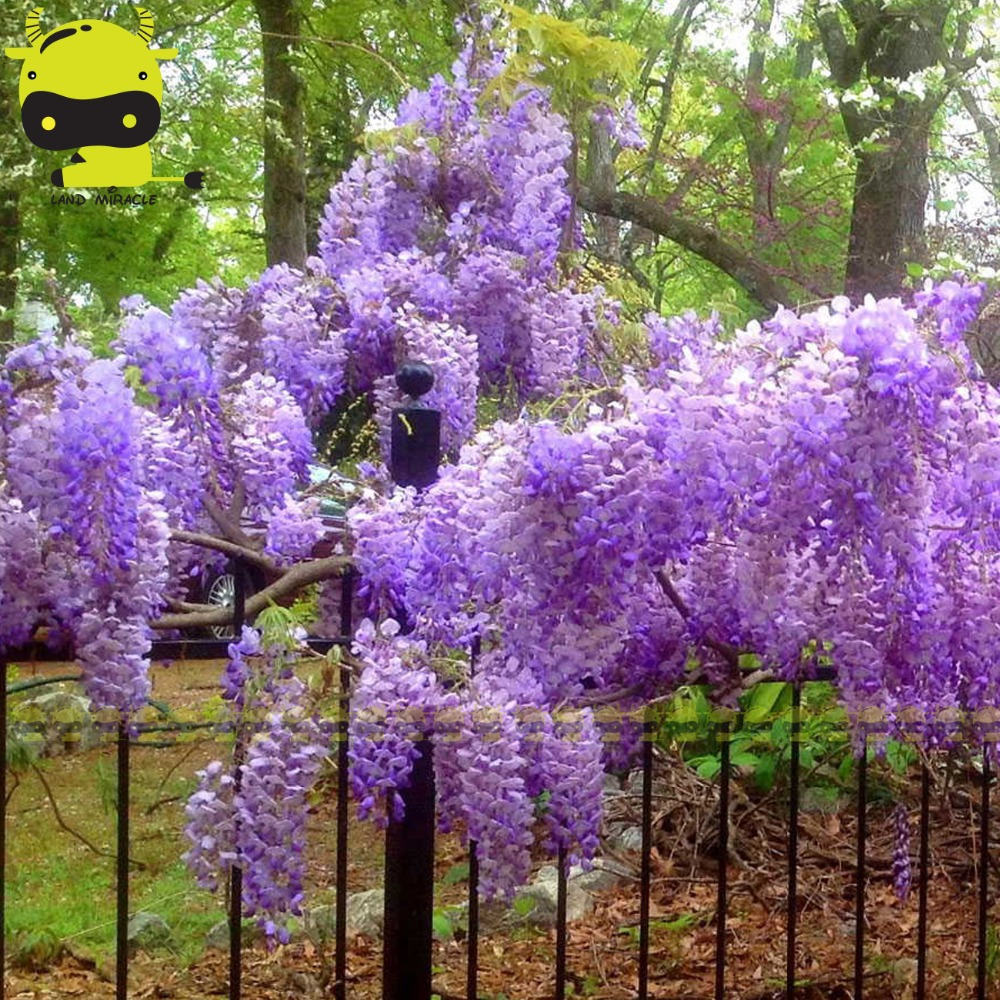 Outdoor ornamental plants - 2017 Spring Blue Moon Wisteria Flower Seed 5 Seeds Pack Fragrant Bloom Fully Hardy Outdoor Ornamental Plants